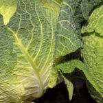 Gemüseknödel mit Wirsingkohlsalat